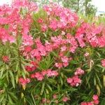 laurier rose : danger pour le yorkshire